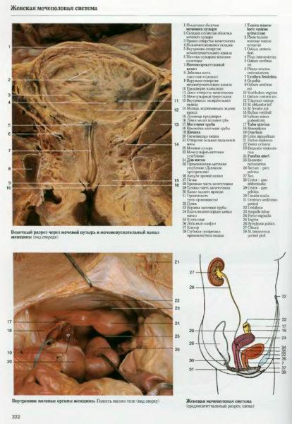 Женская мочеполовая система. Фото