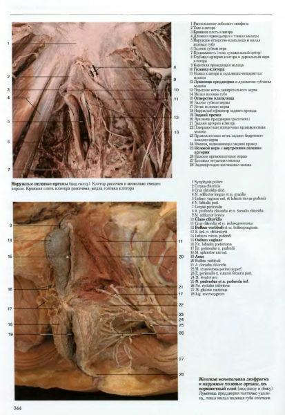 Женские половые органыи